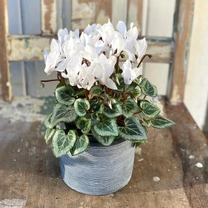 Mini cyclamen in pot