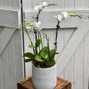 Triple Phalaenopsis orchid in a pot